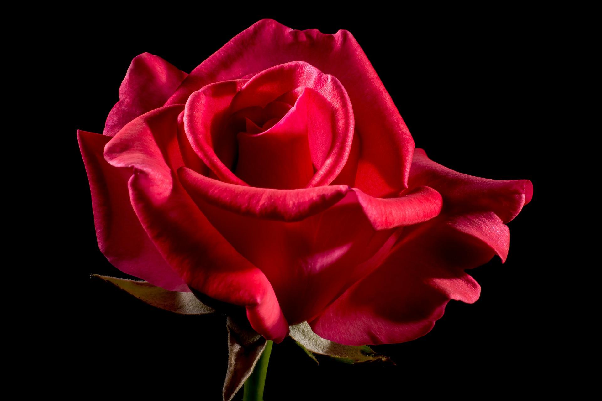 Wie Sie als Bachelor Ihre Rosen erfolgreichbei der Akquisean Ihre Kunden verteilen können